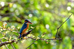翠鸟鸟坐与绿色的分支离开背景 免版税库存照片