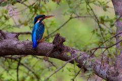 翠鸟鸟坐与绿色的分支离开背景 免版税库存图片