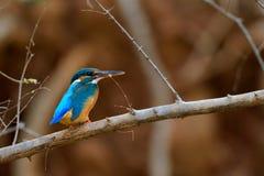 翠鸟鸟坐分支有棕色背景 库存图片