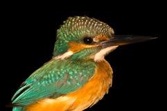 翠鸟鸟 库存图片
