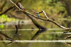 翠鸟- Cerylinae 免版税库存图片