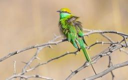 翻动它的羽毛的绿色食蜂鸟 免版税库存图片