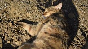 翻滚在土壤的欧洲猫 股票录像
