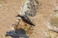 翻石鹬共同的鹅不食属interpres,走在岩石的翻石鹬 免版税库存照片