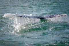 翻转灰色他的尾标鲸鱼 免版税库存图片