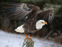 翼传播了白头鹰 免版税库存照片