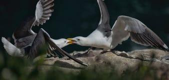 翼和额嘴--鸟权力争夺 免版税库存图片