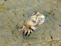 翼果螃蟹 免版税库存照片