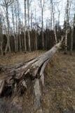 老下落的腐朽的干燥树在有桦树的森林里在背景- Veczemju Klintis,拉脱维亚- 2019年4月13日中 免版税库存照片