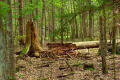 老下落的死的树在森林里 库存照片