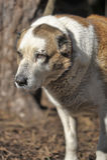 老中亚牧羊犬 库存照片