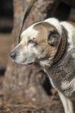 老中亚牧羊犬 免版税图库摄影