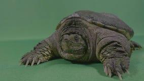 老乌龟攫取的鳄鱼或共同的鳄龟特写镜头有色度钥匙背景- 影视素材