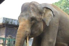 老亚洲大象 免版税库存图片