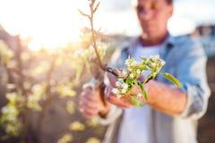 老人修剪苹果树在晴朗的春天庭院里 免版税库存照片