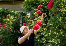 老人切口玫瑰 免版税库存图片