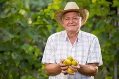 老人采摘无花果在果树园 库存图片