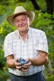 老人采摘李子在果树园 免版税图库摄影