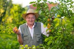 老人采摘杏子在他的果树园 免版税库存照片