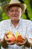 老人采摘梨在果树园 库存照片