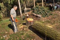 老人击倒落叶松属 工作在晚年的森林活跃生活中的伐木工人 木柴为冬天做准备 图库摄影