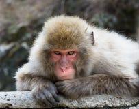 老人猴子 库存图片