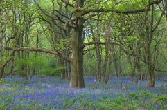 老会开蓝色钟形花的草橡木 免版税图库摄影