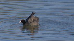 老傻瓜在湖的水中举它的翼 免版税库存图片