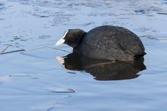 老傻瓜游泳在冰冷的水中:南安普敦共同性 库存照片