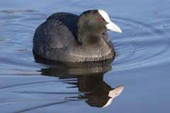 老傻瓜游泳在冰冷的水中:南安普敦共同性 免版税库存照片