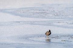 老傻瓜骨顶属atra在一个冻池塘站立 免版税库存照片