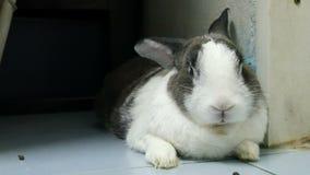 老兔子休息和鼻子画象是无意识而不停地拨弄4k英尺长度 影视素材