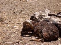 老公羊休息 免版税图库摄影