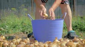 老农夫从桶的地面种植园收集成熟葱 股票录像