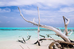 老凋枯的树在海洋海滩放置在蓝天下 免版税库存图片