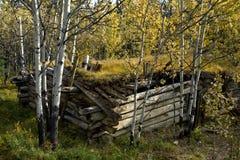 老原木小屋和金黄白杨木在森林里,在Haines连接点附近 免版税库存图片