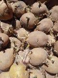 老发芽的土豆 免版税图库摄影
