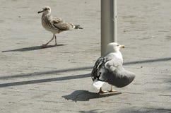 老和幼小海鸟黄色有腿的鸥 选择聚焦 库存照片