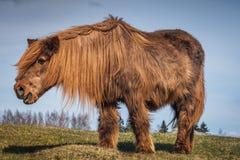 老和长毛的冰岛马 免版税库存照片