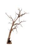 老和死的树 图库摄影