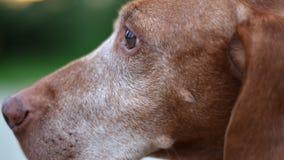 老哀伤的狗眼睛 免版税库存照片