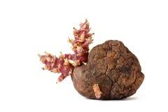老土豆用在白色背景的新芽 免版税库存图片