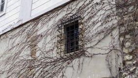 老墙壁窗口机智干燥常春藤分支 图库摄影