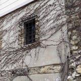 老墙壁窗口机智干燥常春藤分支 免版税库存照片
