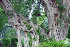 老多节树 免版税库存图片