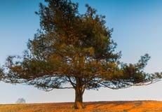 老大杉树照片在草甸小山的  免版税库存图片