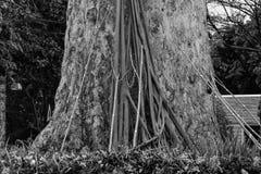 老大树和高视阔步 免版税库存图片