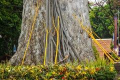 老大树和高视阔步 免版税库存照片
