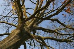 老大树在森林里 库存照片