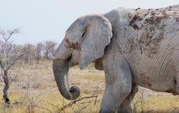 老大象打破的象牙象牙事务 免版税库存照片